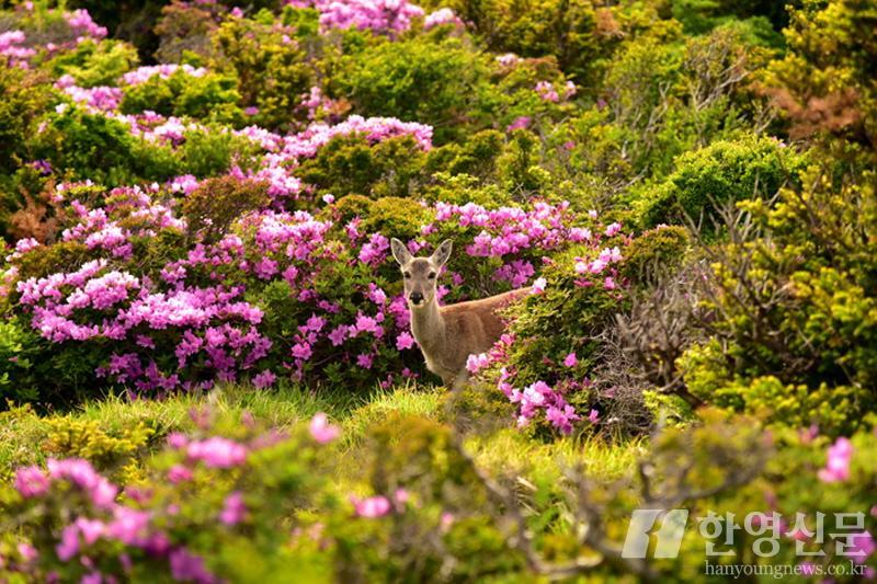 [크기변환]사본 -산철쭉과 한라산 노루 DSC_3063.jpg
